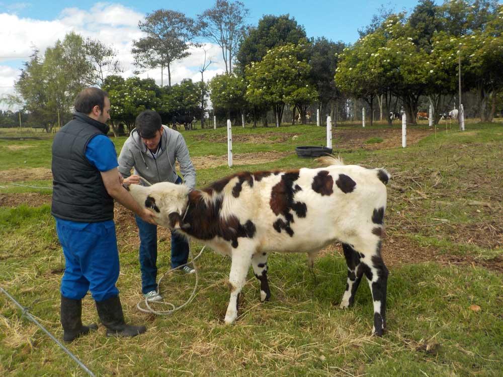convocatoria-bovinos